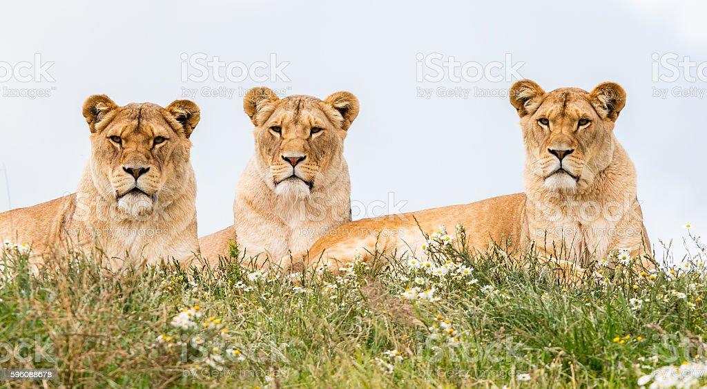 Three female lions royalty-free stock photo