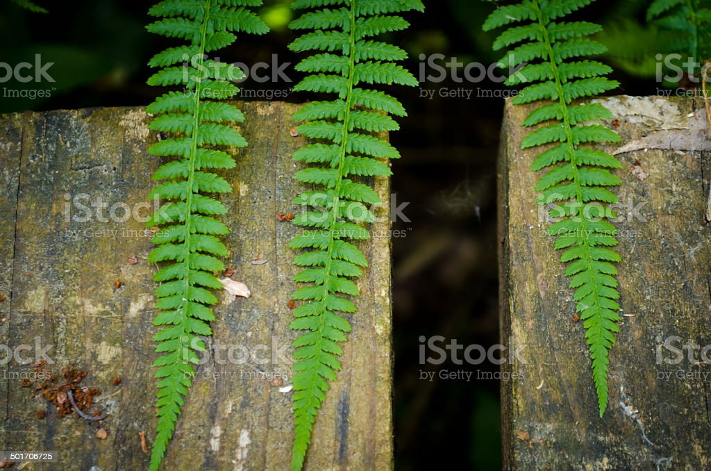 Three fern stock photo