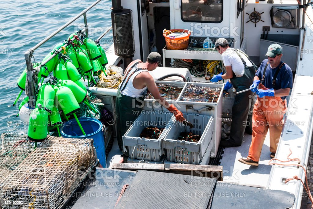 Three fisherman working on a boat separating lobster stock photo