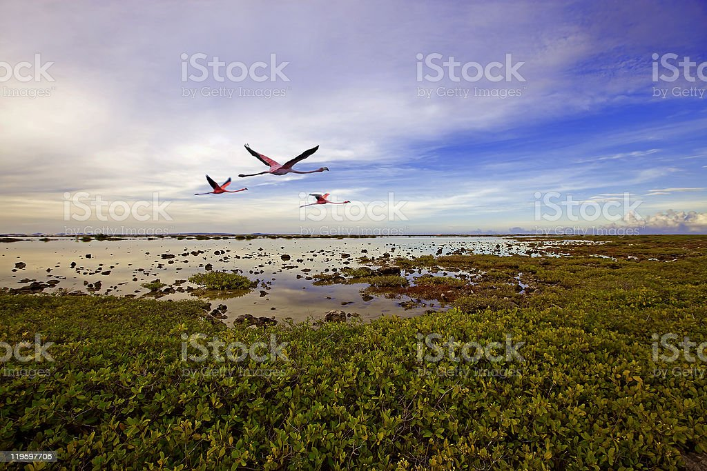 Three flamingos flying over a marshy pond stock photo