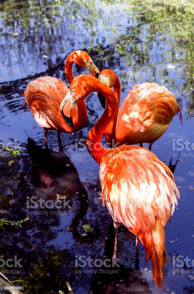 Three flamingos in a pond. - foto stock