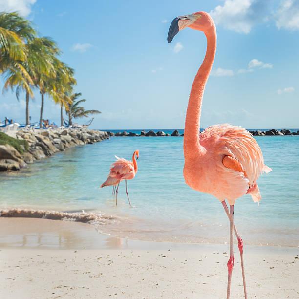 three flamingos on the beach - aruba stockfoto's en -beelden