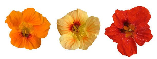 three flower heads - nasturtium stock photos and pictures