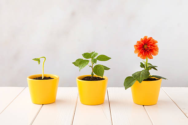 Three flower pots representing three stages of growth stock photo