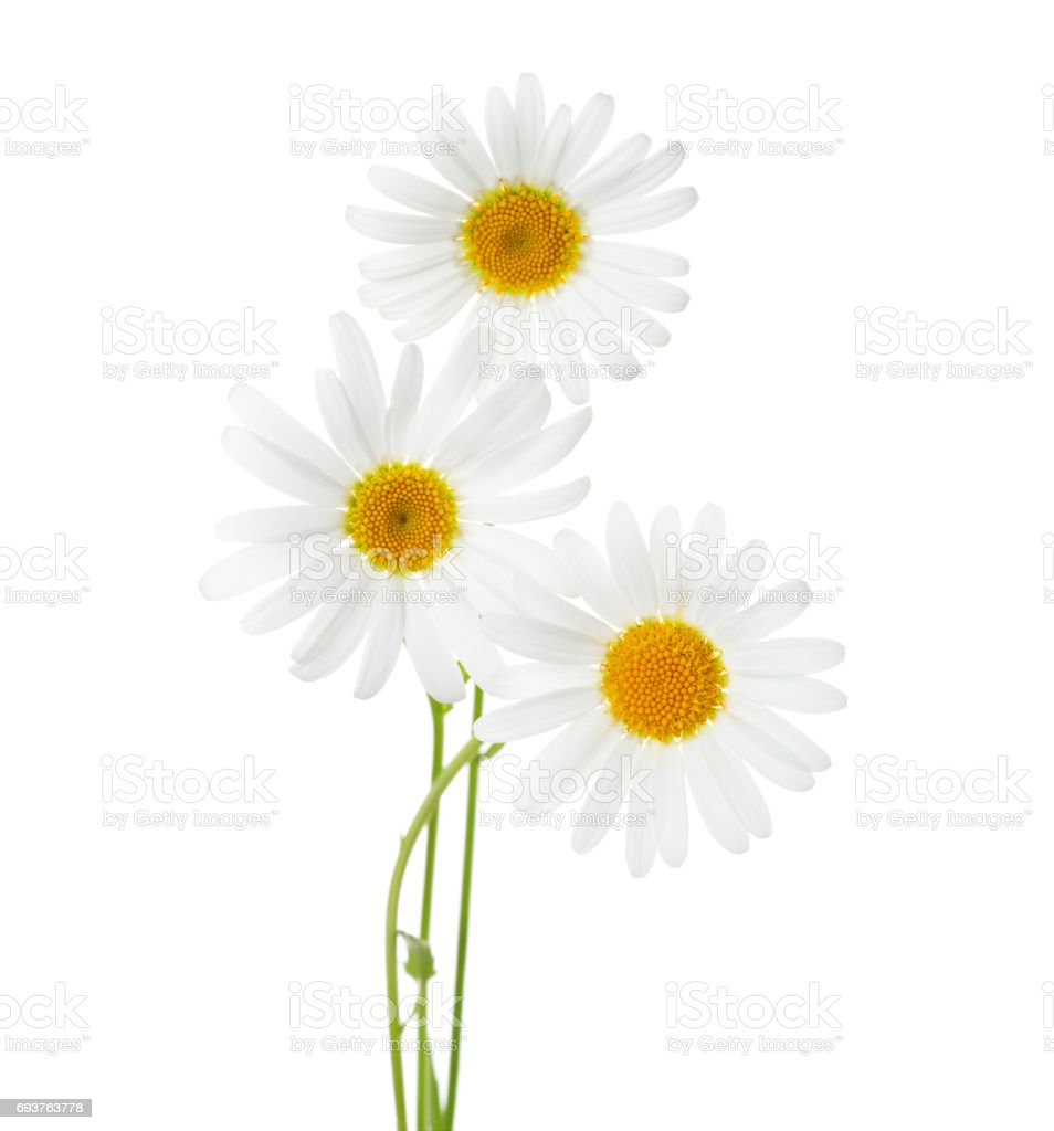 Three flowers of Chamomiles  ( Ox-Eye Daisy ) isolated on a white background stock photo