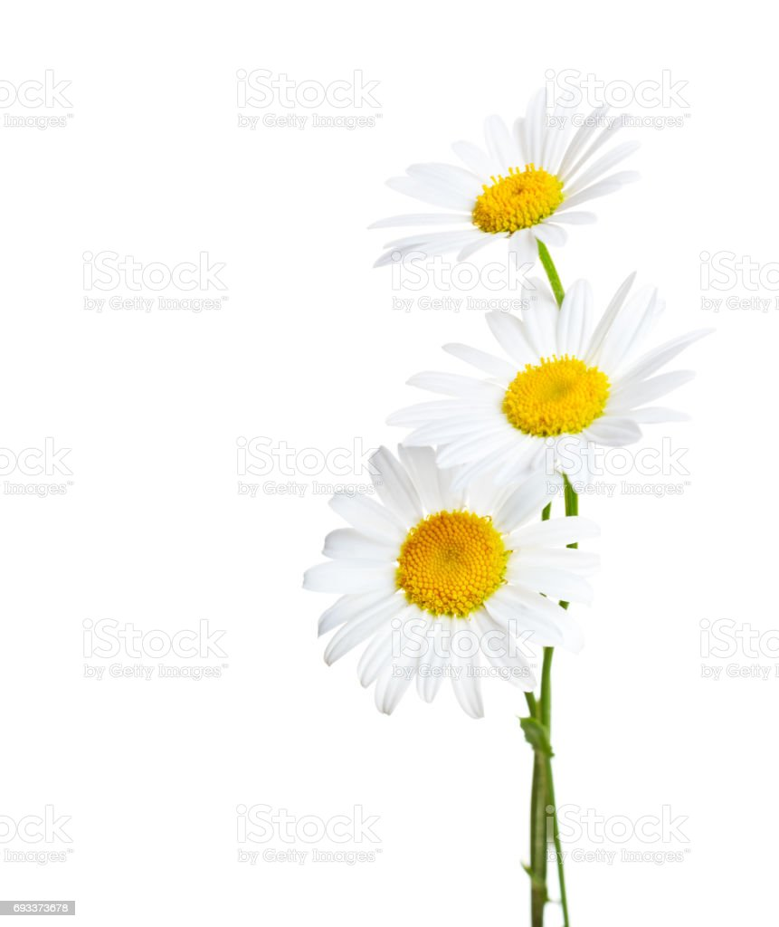 Three flowers of Ð¡hamomiles  ( Ox-Eye Daisy ) isolated on a white background stock photo