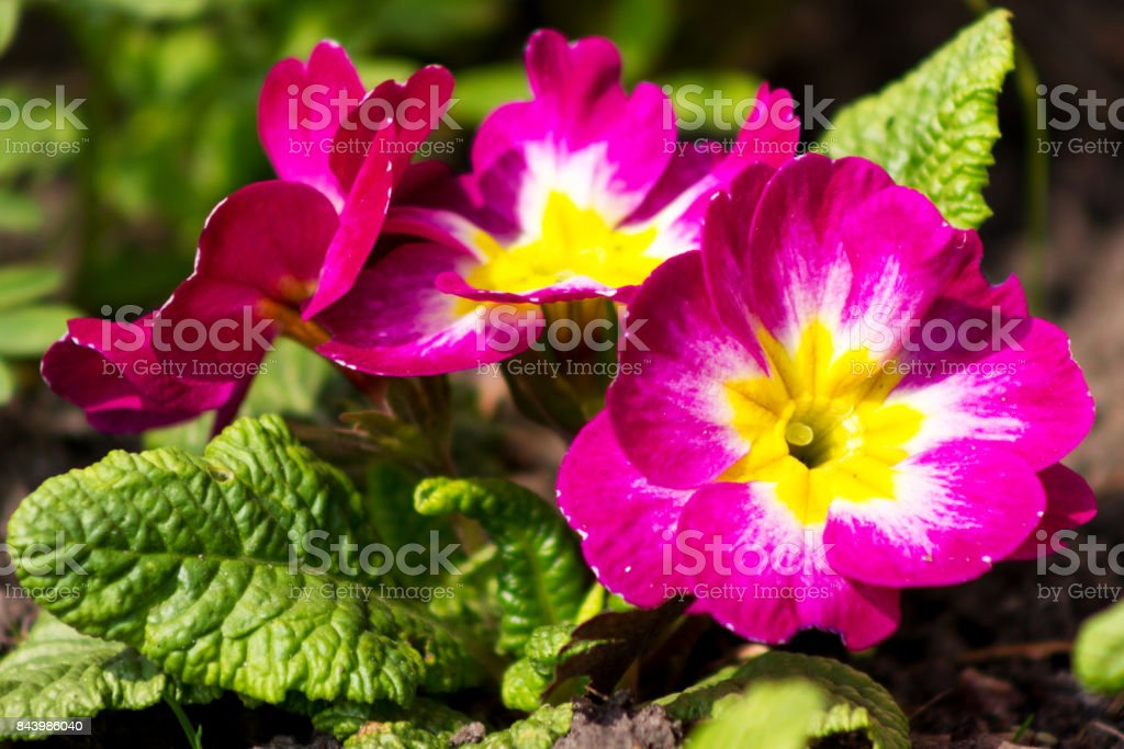 Three flowers of primrose at blurred green background in garden at sunny day stock photo