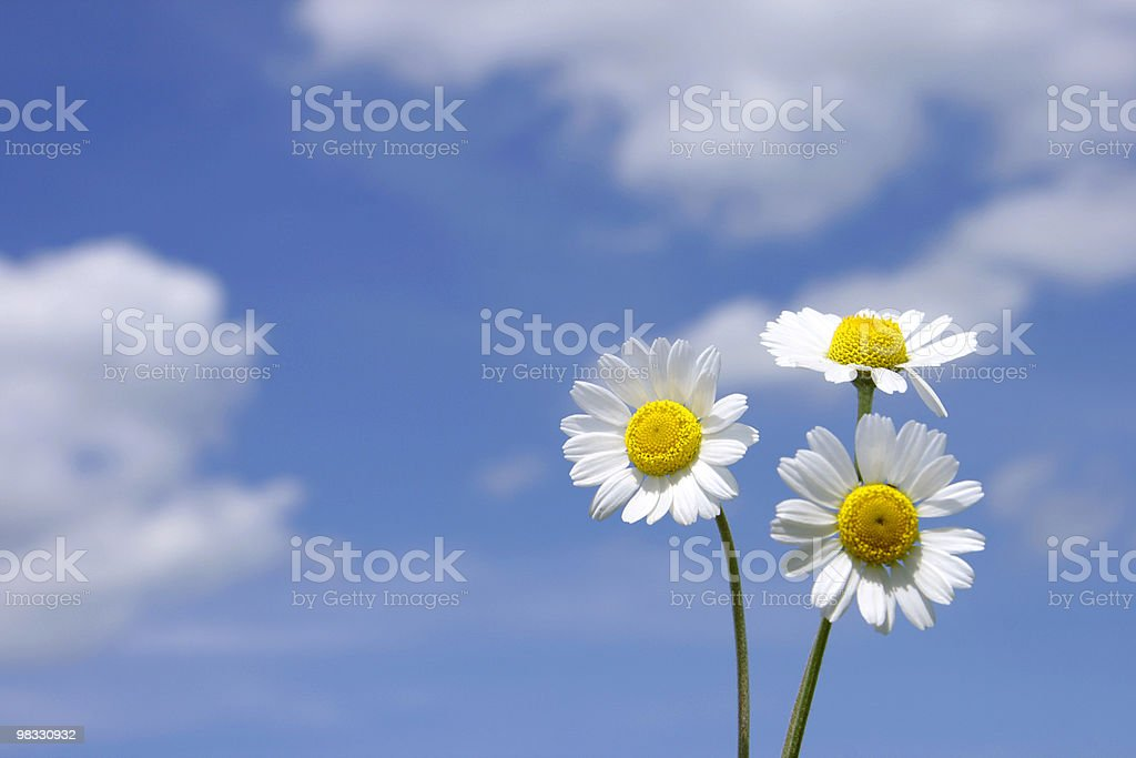Three flowers royalty-free stock photo