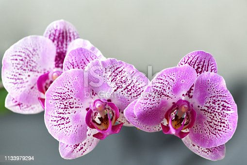 Three flowers pink Phalaenopsis orchids are in flower Orangerie. Horizontal macro photography