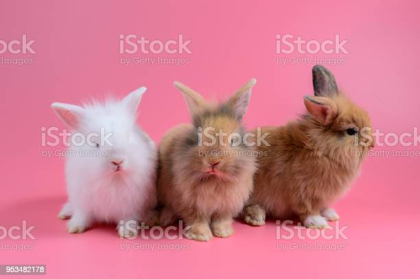 Three fluffy bunny sit on clean pink background little rabbit picture id953482178?b=1&k=6&m=953482178&s=612x612&h=uah1qf8rxgl7ppifi71uwvm2fryaqy15he2j7ggqyum=