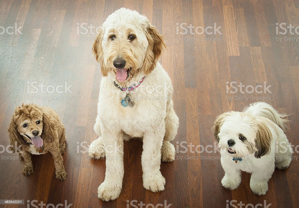 Three Fluffy Dogs stock photo