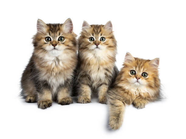 Trois moelleux or British Longhair chat chatons assis / portant sur une ligne parfaite, regardant la lentille avec de grands yeux vert isolé sur fond blanc - Photo