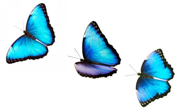 drei fliegende helle männlichen blauen morpho schmetterling isoliert auf weißem hintergrund. - kokon stock-fotos und bilder