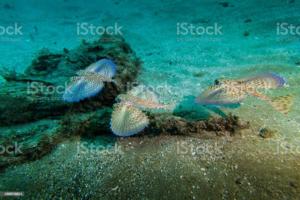 Three Flying Gurnards Swiming in Angra dos Reis stock photo
