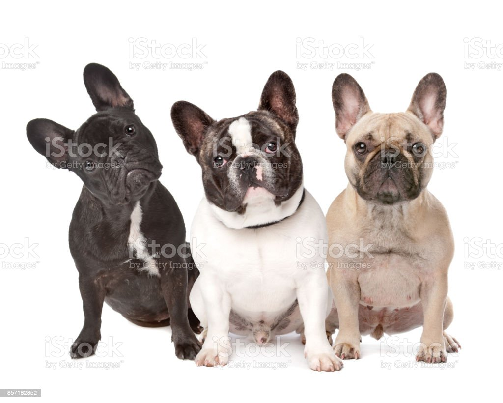 trois bouledogues Français d'affilée - Photo