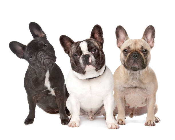 three French Bulldogs in a row three French Bulldogs in a row on a white background french bulldog stock pictures, royalty-free photos & images