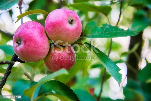 505840263istockphoto Three fresh and delicious red with small yellow-green spots apple on a stick with green leaves 1030461748