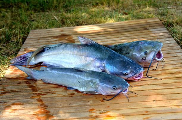 drei frisch gefangene catfish - wilde hilde stock-fotos und bilder