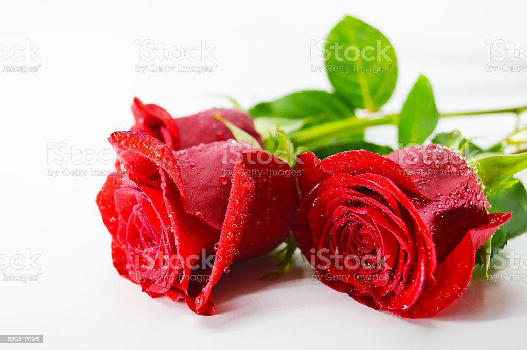 Three fresh red roses stock photo