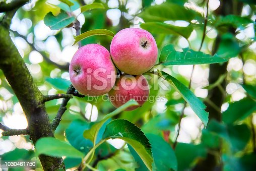505840263istockphoto Three fresh red with small yellow-green spots apple on a stick with green leaves 1030461750