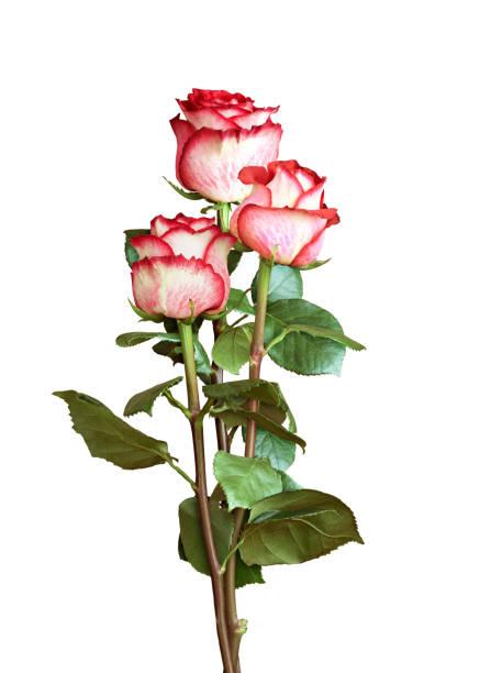 Three fresh rose flowers picture id1216339961?b=1&k=6&m=1216339961&s=612x612&w=0&h=wejpcdwzptsm hlu2rkuuohioodiejsgvtnd52xeh1w=