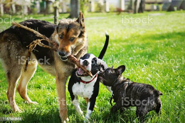 Three friendly happy playing dogs in summer park german shepherd picture id1187660854?b=1&k=6&m=1187660854&s=612x612&h=l6omty dee9rk9vl7nayyn79 7tserx al12hsgpxby=
