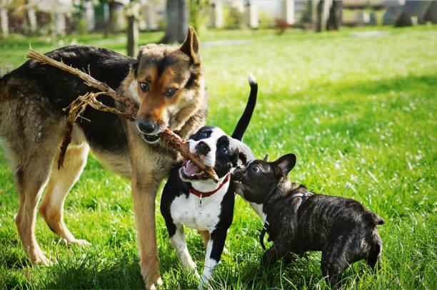 Three friendly happy playing dogs in summer park german shepherd picture id1187660854?b=1&k=6&m=1187660854&s=612x612&w=0&h=jvaa9jbxryjipoqk0dhxmormh6dk8erfjts0gzv3lrk=