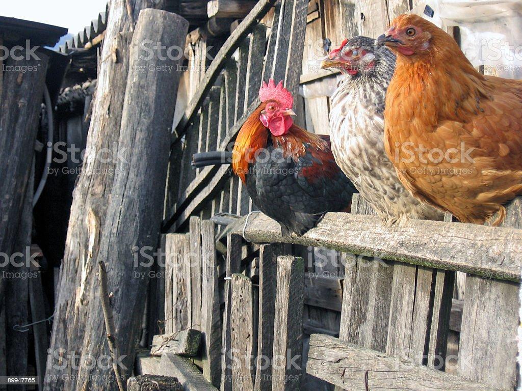 Three friends - farm birds stock photo