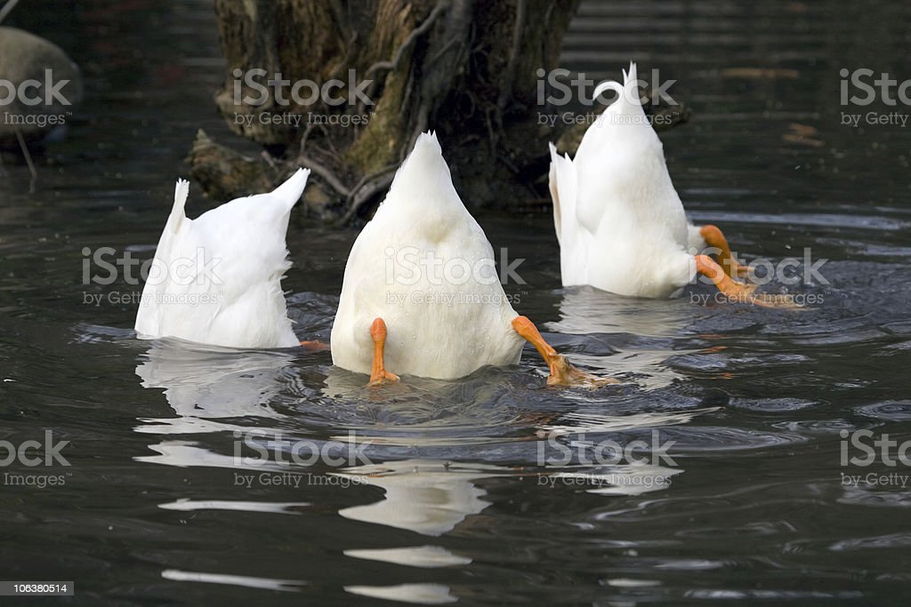 Three Fun Goose Top Down. Color Image royalty-free stock photo