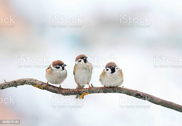 Photo of three funny birds Sparrow sitting on a branch in winter