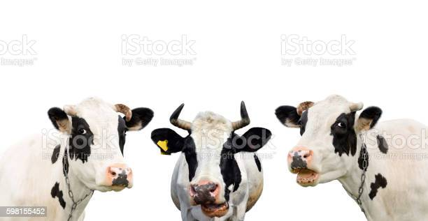Three funny cow isolated on a white background picture id598155452?b=1&k=6&m=598155452&s=612x612&h=whn4lgy21agexusrm2 4slauubkxbm syv6z4jm8p a=