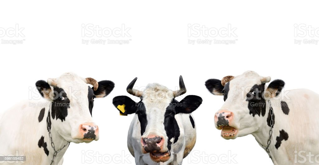 Three funny cow isolated on a white background stock photo