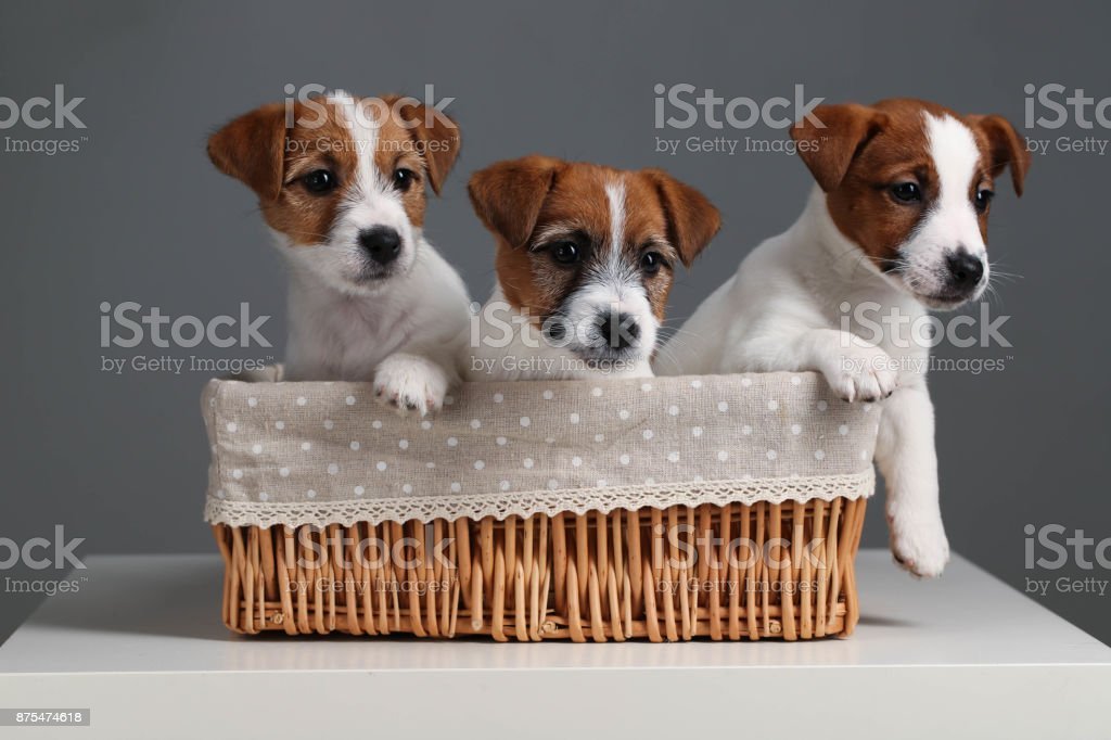 Three funny jack russells in the bed. Close up. Gray background stock photo