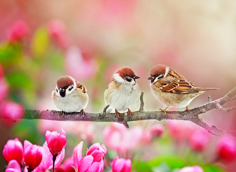 natural background with three funny plump birds sparrows sit on a branch of an Apple tree with pink flowers on a Sunny spring day