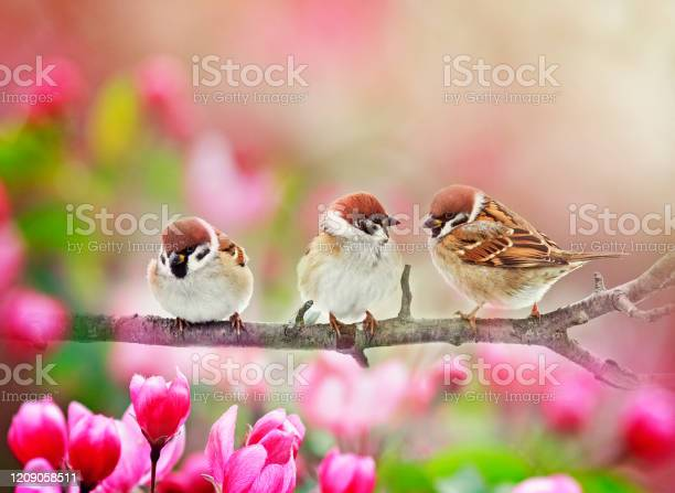 Photo of three funny plump birds sparrows sit on a branch of an Apple tree with pink flowers on a Sunny spring day