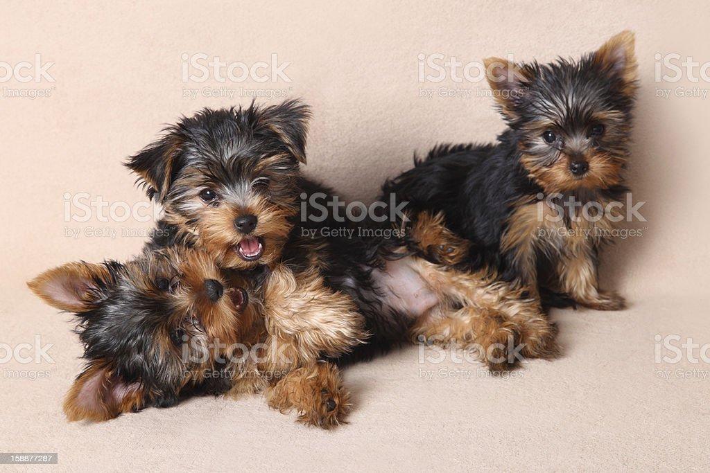 Tre Divertenti Cucciolo Di Yorkshire Terrier Fotografie Stock E