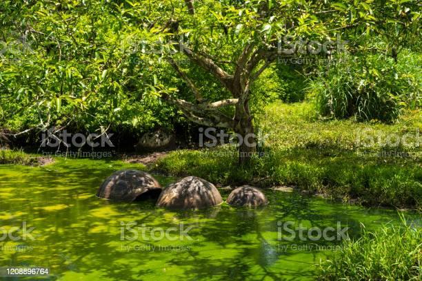Three galapagos giant tortoise in the pond picture id1208896764?b=1&k=6&m=1208896764&s=612x612&h=qdpzulvyws8ywwulepoiuve8lbxacj4xwcqyni0fbre=