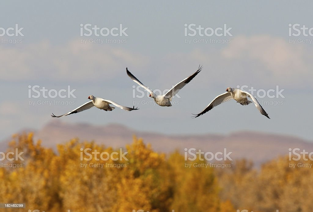 Three Geese Flying royalty-free stock photo