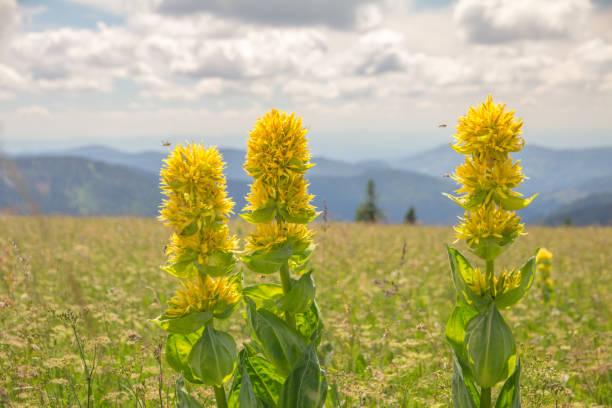 drie bloemen van de gentiaan, feldberg, zwarte woud, duitsland - gentiaan stockfoto's en -beelden