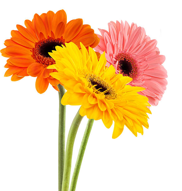 Color Daisies: Gerbera Daisy Pictures, Images And Stock Photos