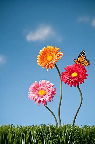 Three gerbera daisies and a butterfly picture id157568440?b=1&k=6&m=157568440&s=612x612&w=0&h=ftq6pyytj6vq8byazvepgx87ghghj3tbzkatu81b ha=