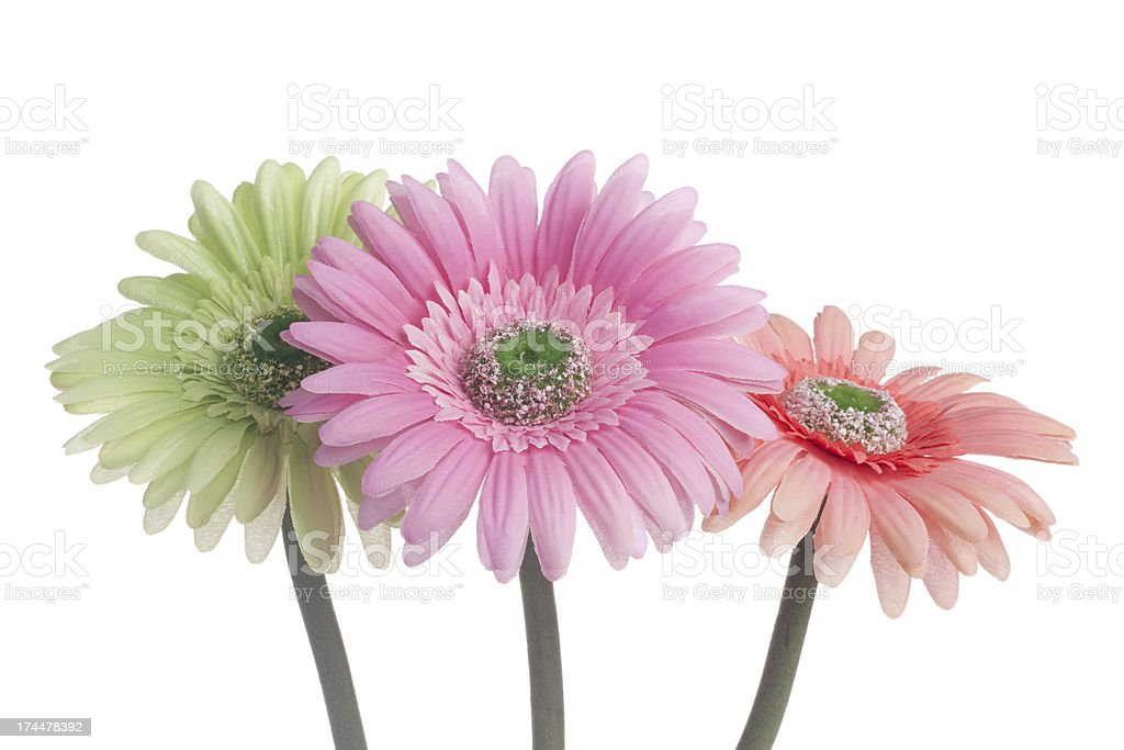 Three Gerbera Daisies, Flower, Multi-Color, Love, Romance, Spring, Isolated-on-White royalty-free stock photo