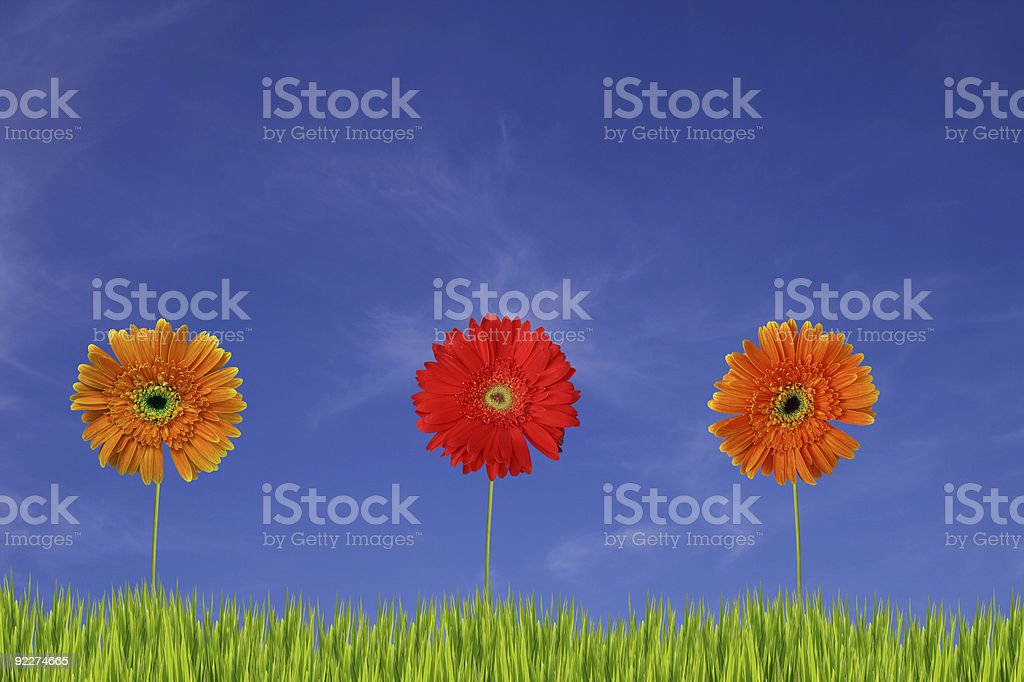 Three gerberas in the field XXL stock photo