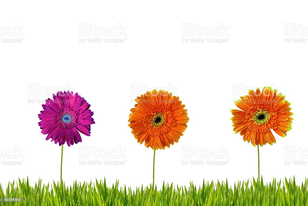 Three gerberas isolated on grass royalty-free stock photo