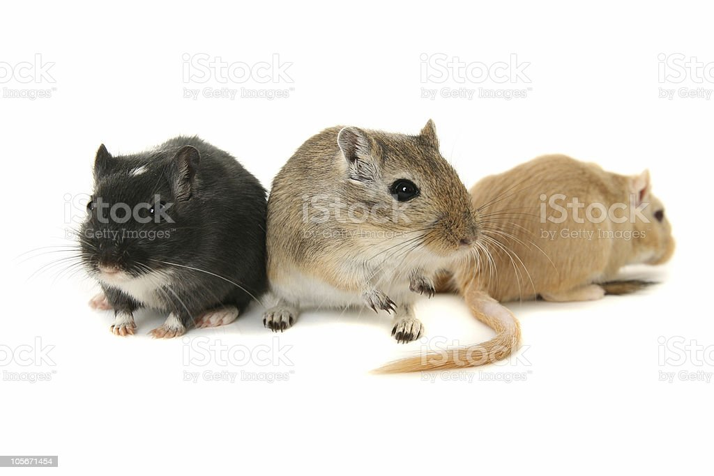 Three gerbils on a white background stock photo