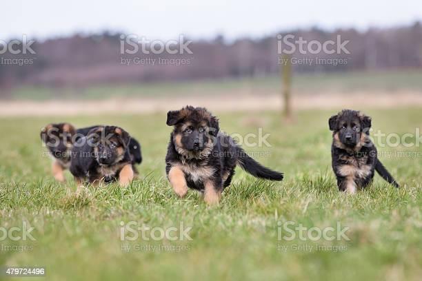Three german shepherd puppies playing picture id479724496?b=1&k=6&m=479724496&s=612x612&h=khjo7mksrp8md stkjwdnr0lmeqpjxx131mlsxrr89y=
