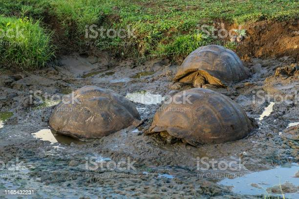 Three giant turtles cooling in the mud in a natural environment in picture id1165432231?b=1&k=6&m=1165432231&s=612x612&h=hixzuipdpbiicyx5zfdneq3f3nivre15zndiwiyfazs=