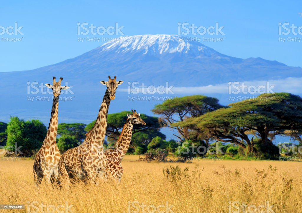 Three giraffe in National park of Kenya Three giraffe on Kilimanjaro mount background in National park of Kenya, Africa Africa Stock Photo