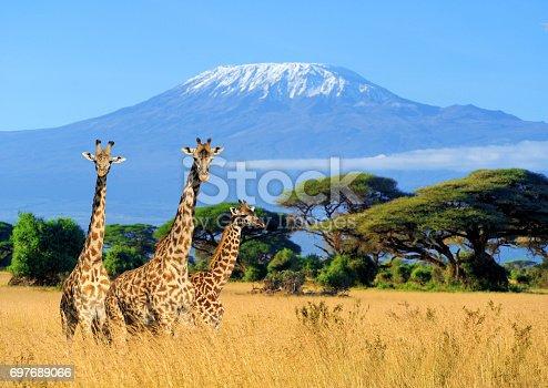 Three giraffe on Kilimanjaro mount background in National park of Kenya, Africa