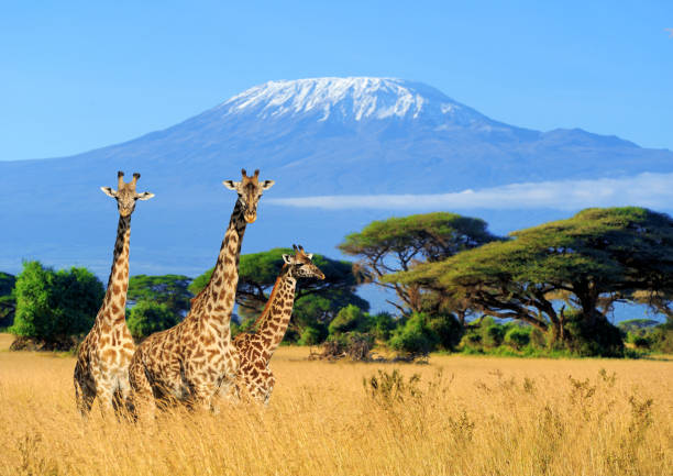 Three giraffe in National park of Kenya Three giraffe on Kilimanjaro mount background in National park of Kenya, Africa east africa stock pictures, royalty-free photos & images